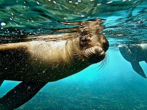 Snorkelling with sea lions in the Galapagos - Aurora Expeditions