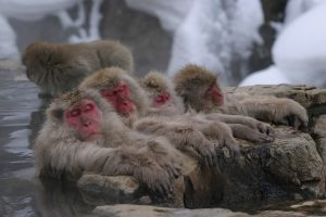 Snow Monkeys ©Yamanouchi Town ©JNTO