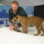 baby tiger discovers snow at Australia Zoo