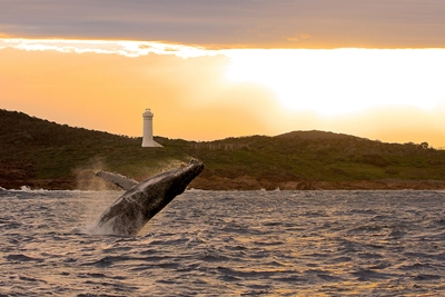 Whale at sunset in Port Stephens - pic credit - Lisa Skelton from Imagine Cruises