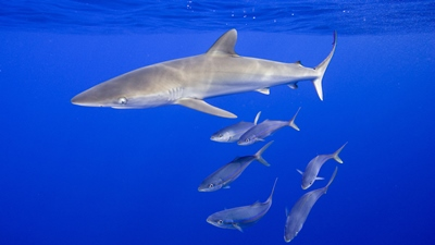 shrk_silky_sharks_swimming_raw_lw_RM .jpg
