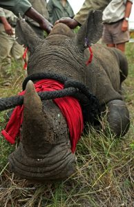 Rhinos_Without_Borders_Feb_2015_CBS6002