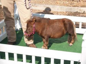 THUMBELINA is the world's smallest horse, standing only as high as an adult human's knee. (WikipediaPhilKonstantin)