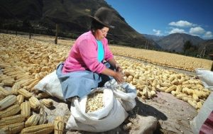 Peruvian woman harvesting a special varietal of corn in a traditional manner. (PRNewsFoto/Southwind Adventures)