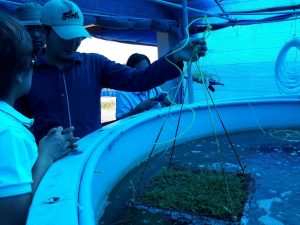 Sea weed production