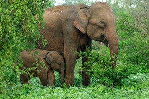 asian_elephant-small