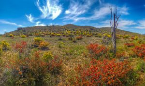 flinders-ranges-wildflowers-tim-lindner_banner