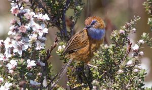 southern-emu-wren-one-of-many-native-species-threatened-by-feral-cats-on-kangaroo-island-source-jj-harrison-wikimedia