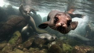 Close up of a sea lion in Galapagos Inslands