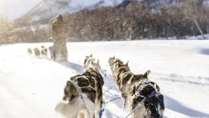 Sled dogs pulling a sled through the winter forest in Norway