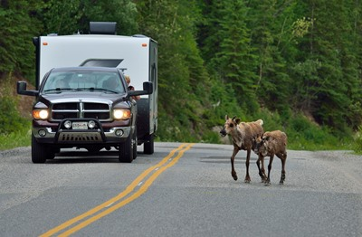 A vehicle stopped for a couple of caribou crossing highway.